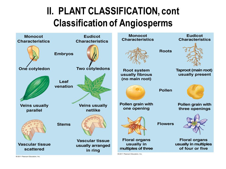 II. PLANT CLASSIFICATION, cont Classification of Angiosperms