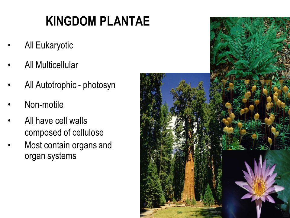KINGDOM PLANTAE All Eukaryotic All Multicellular
