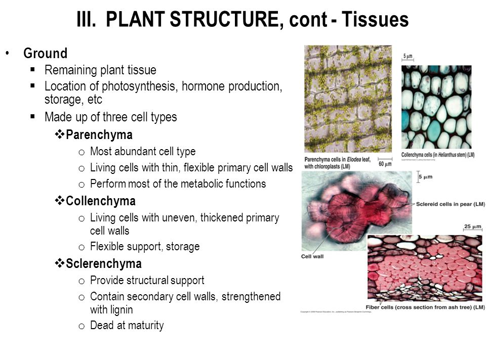 III. PLANT STRUCTURE, cont - Tissues