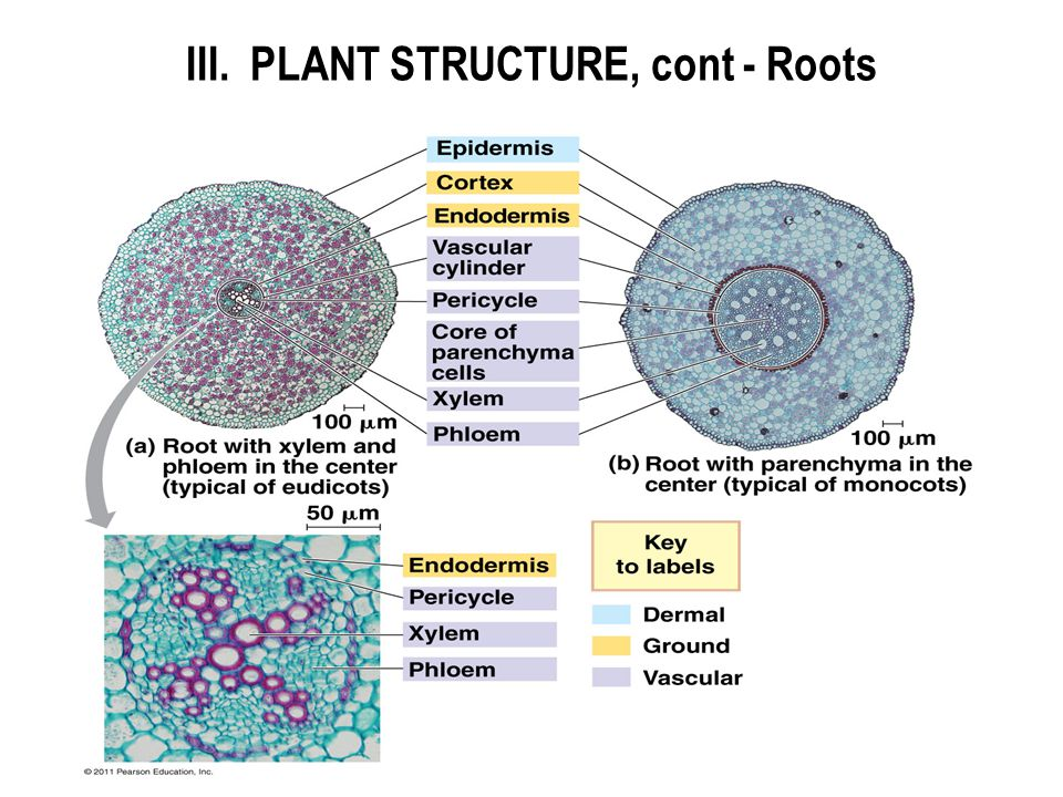 III. PLANT STRUCTURE, cont - Roots