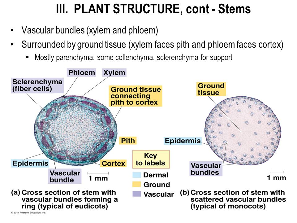 III. PLANT STRUCTURE, cont - Stems