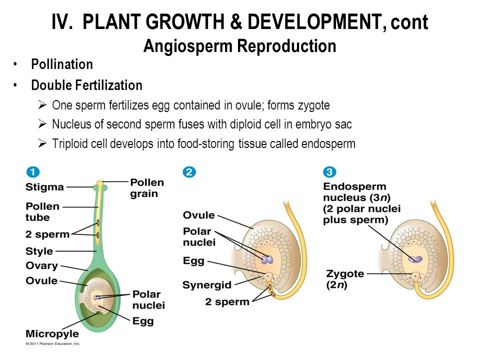 IV. PLANT GROWTH & DEVELOPMENT, cont Angiosperm Reproduction