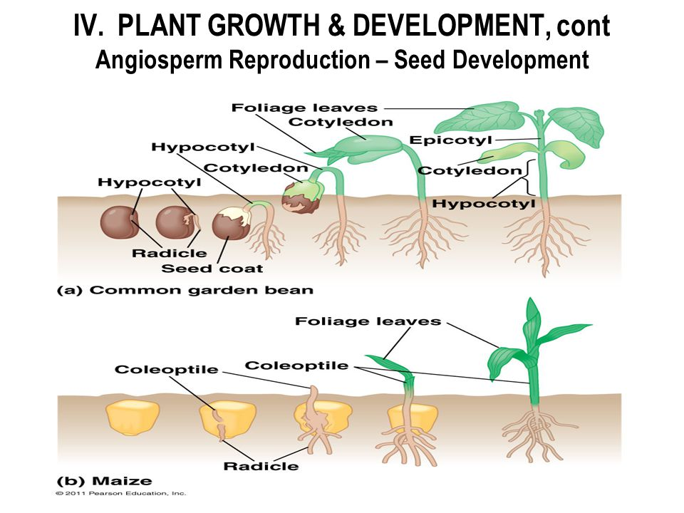 IV. PLANT GROWTH & DEVELOPMENT, cont Angiosperm Reproduction – Seed Development