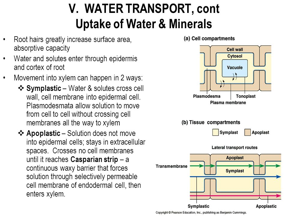 V. WATER TRANSPORT, cont Uptake of Water & Minerals