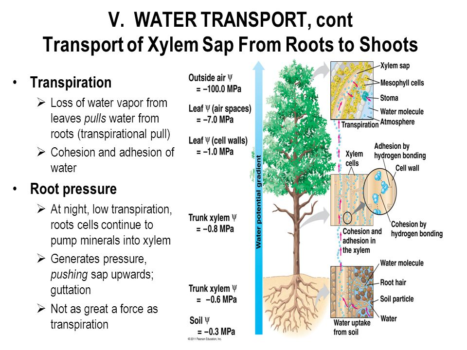 V. WATER TRANSPORT, cont Transport of Xylem Sap From Roots to Shoots