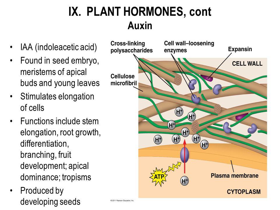 IX. PLANT HORMONES, cont Auxin