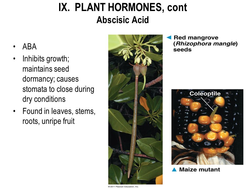 IX. PLANT HORMONES, cont Abscisic Acid
