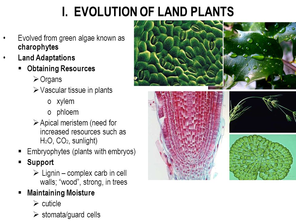 I. EVOLUTION OF LAND PLANTS