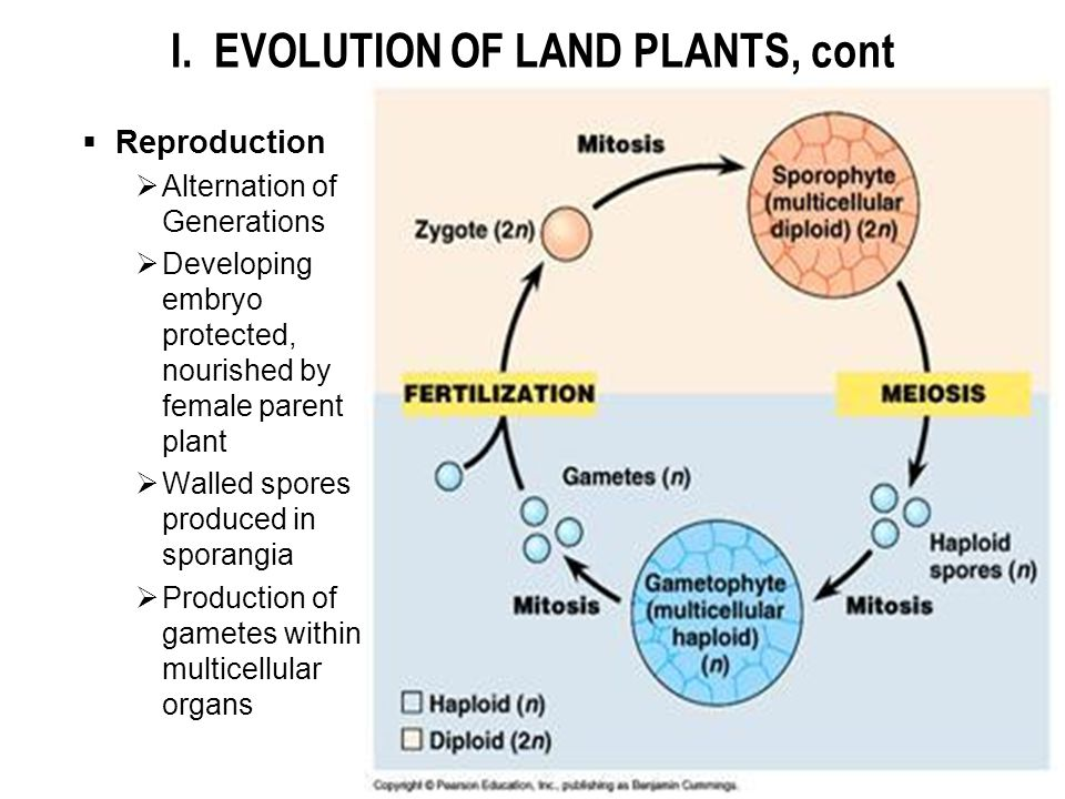 I. EVOLUTION OF LAND PLANTS, cont