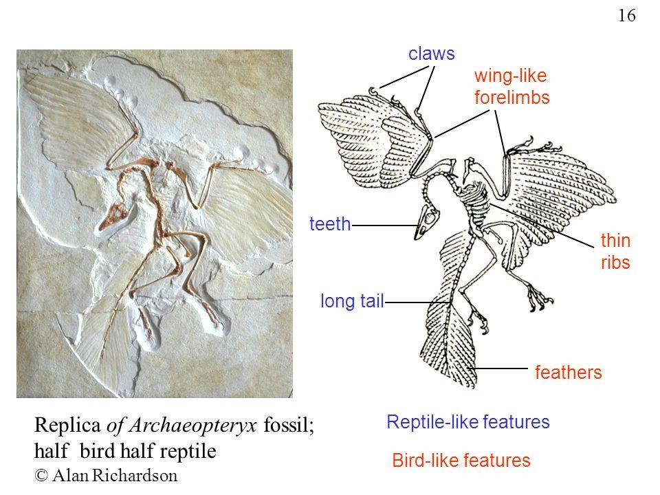 Replica of Archaeopteryx fossil; half bird half reptile