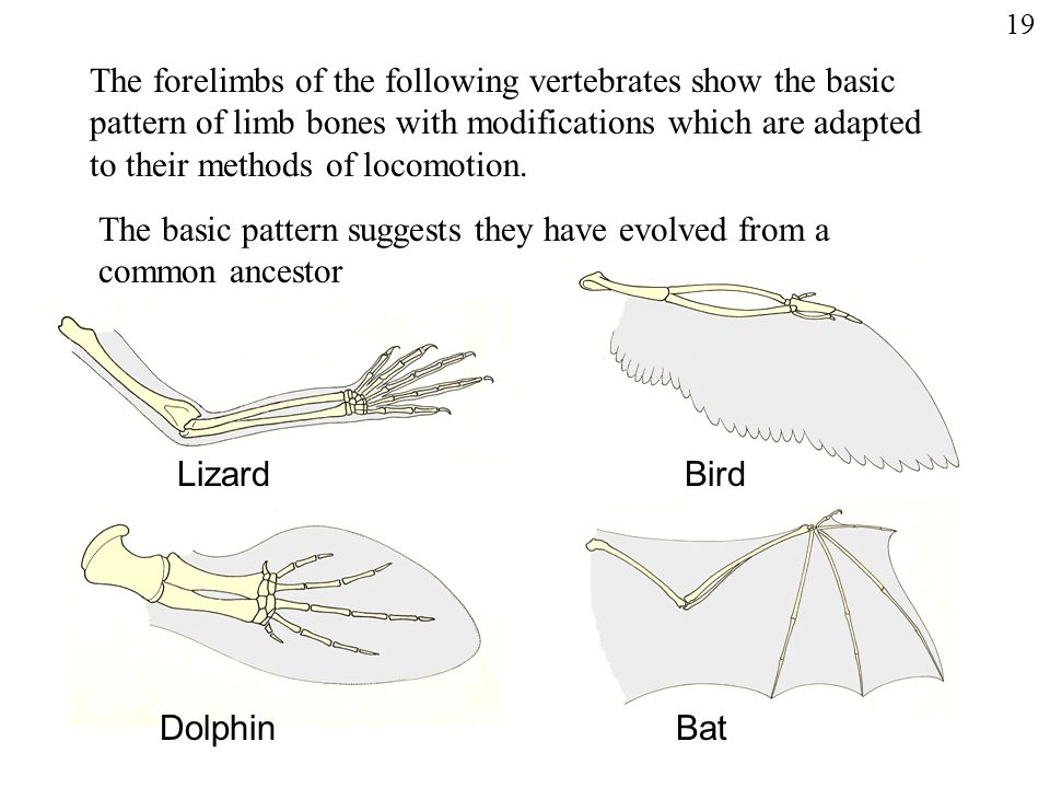 The basic pattern suggests they have evolved from a common ancestor