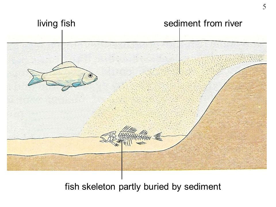 fish skeleton partly buried by sediment