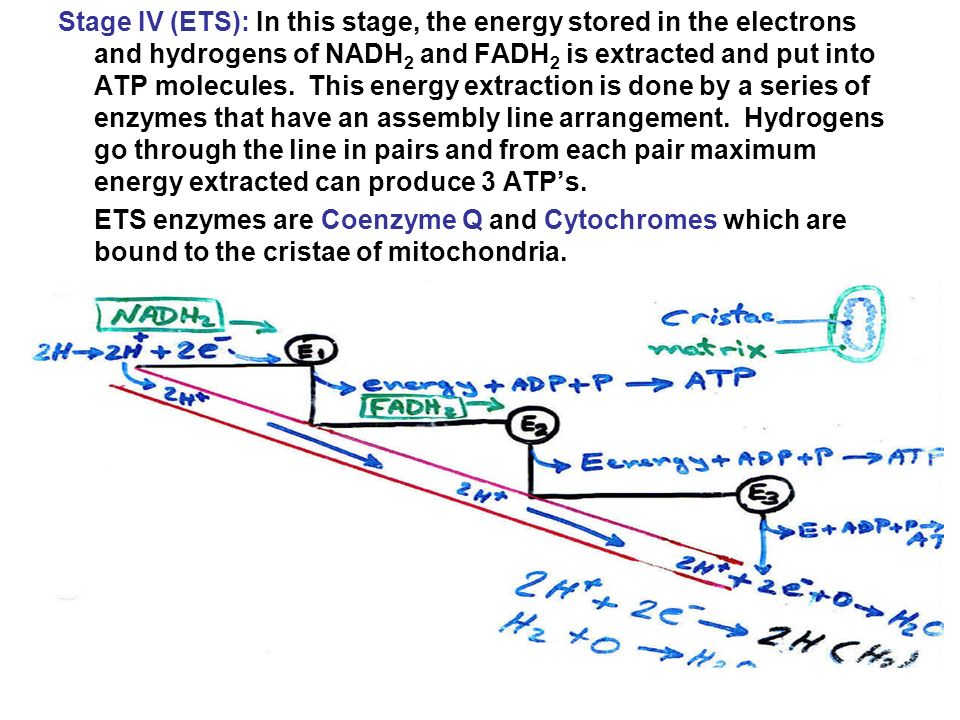 Stage IV (ETS): In this stage, the energy stored in the electrons and hydrogens of NADH2 and FADH2 is extracted and put into ATP molecules. This energy extraction is done by a series of enzymes that have an assembly line arrangement. Hydrogens go through the line in pairs and from each pair maximum energy extracted can produce 3 ATP's.