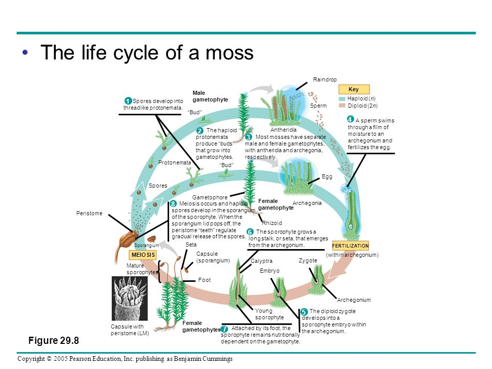 The life cycle of a moss Figure 29.8 4 3 8 6 5 7 1 2
