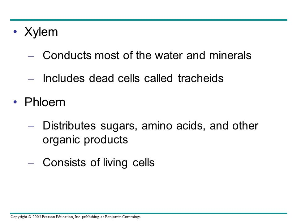 Xylem Phloem Conducts most of the water and minerals