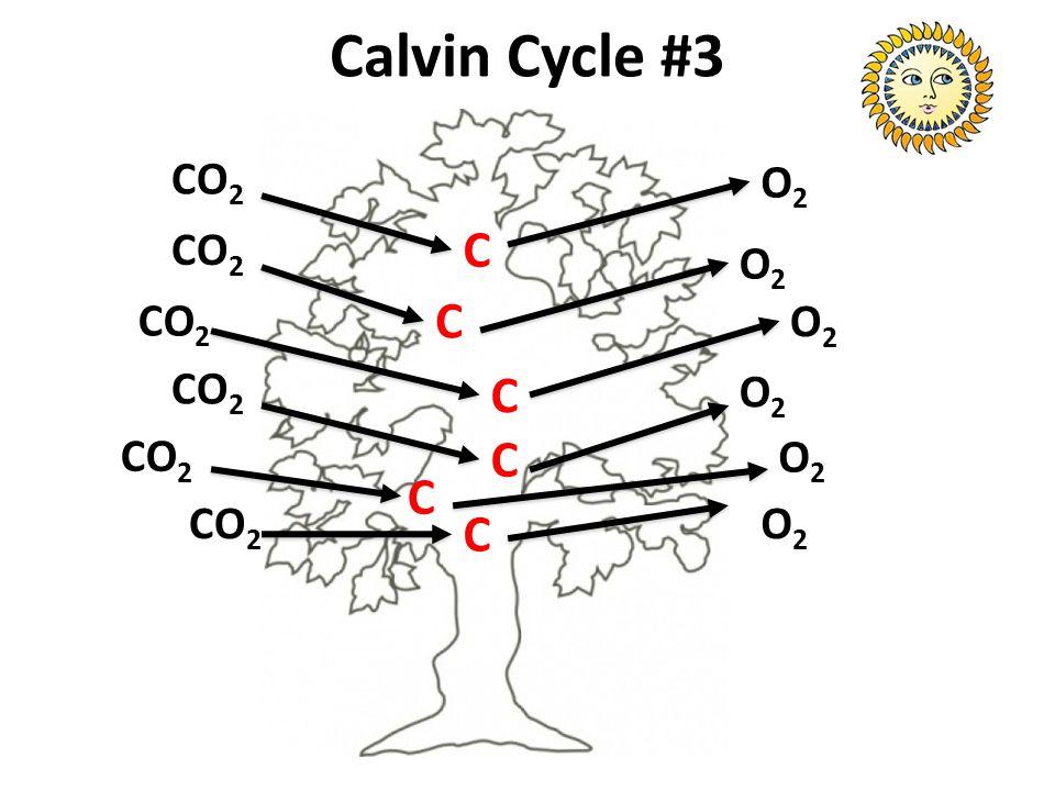 Calvin Cycle #3 CO2 O2 CO2 C O2 CO2 C O2 CO2 C O2 CO2 C O2 C CO2 O2 C