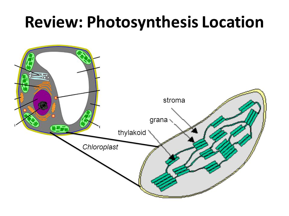 Review: Photosynthesis Location