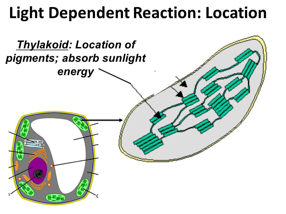 Light Dependent Reaction: Location