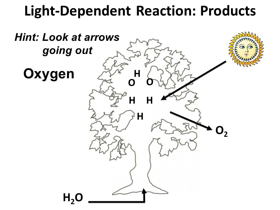 Light-Dependent Reaction: Products