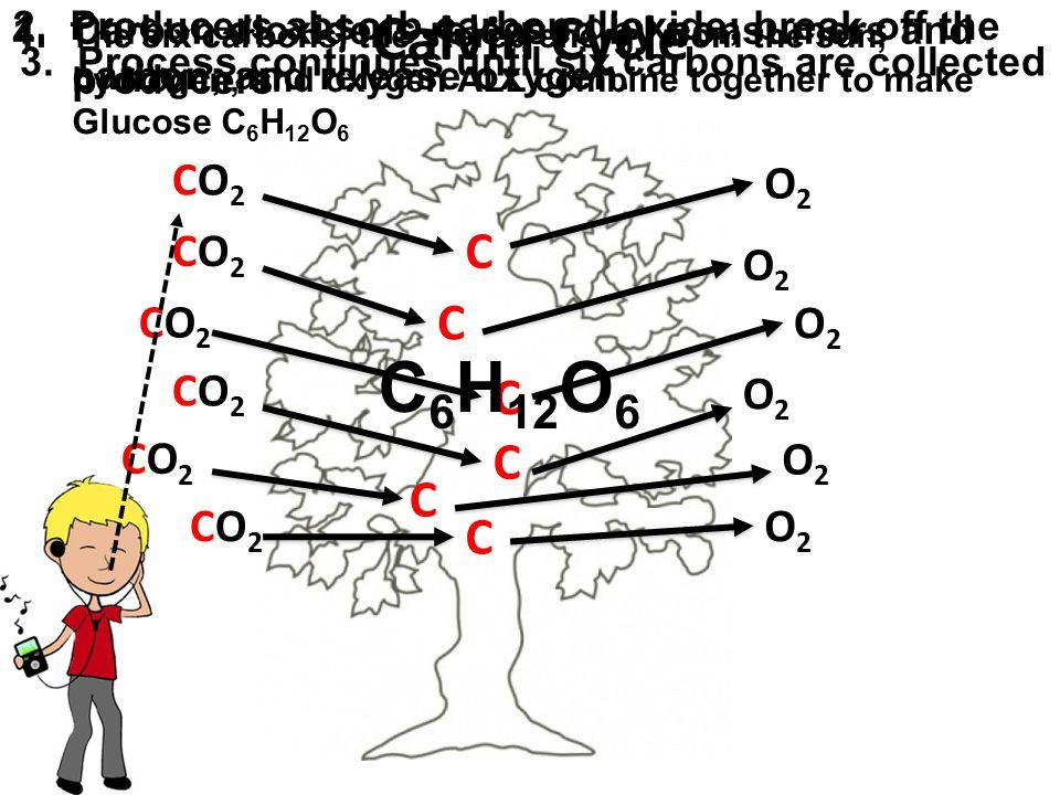 C6H12O6 Calvin Cycle C C C C C C CO2 O2 CO2 O2 CO2 O2 CO2 O2 CO2 O2