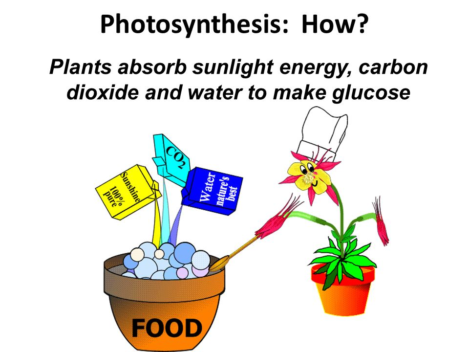 Photosynthesis: How Plants absorb sunlight energy, carbon dioxide and water to make glucose