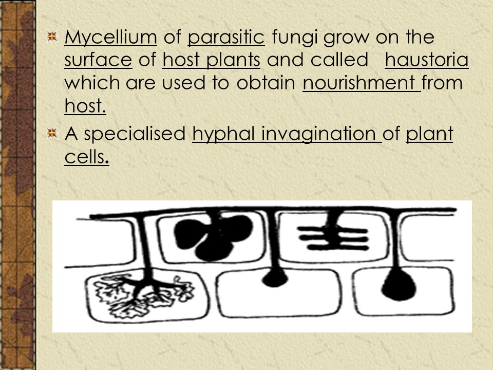 Mycellium of parasitic fungi grow on the surface of host plants and called haustoria which are used to obtain nourishment from host.