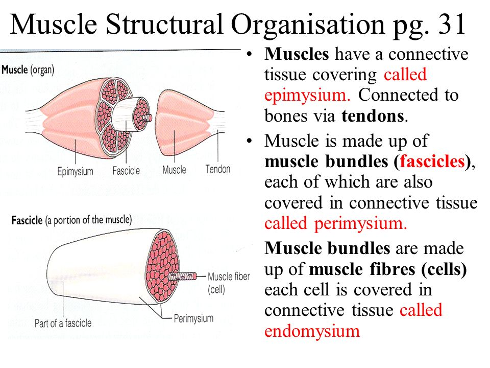 Muscle Structural Organisation pg. 31