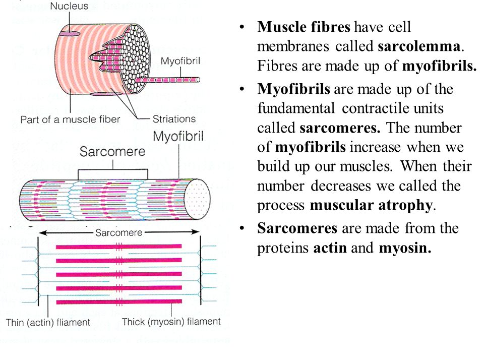 Muscle fibres have cell membranes called sarcolemma