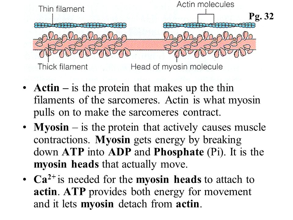Pg. 32Actin – is the protein that makes up the thin filaments of the sarcomeres. Actin is what myosin pulls on to make the sarcomeres contract.