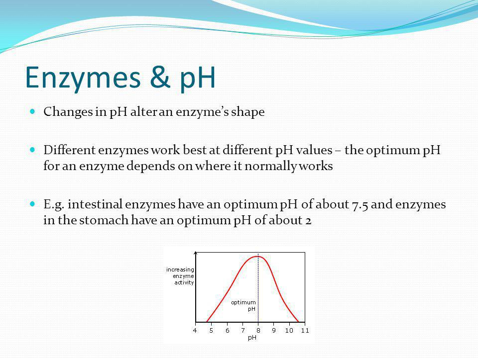 Enzymes & pH Changes in pH alter an enzyme's shape