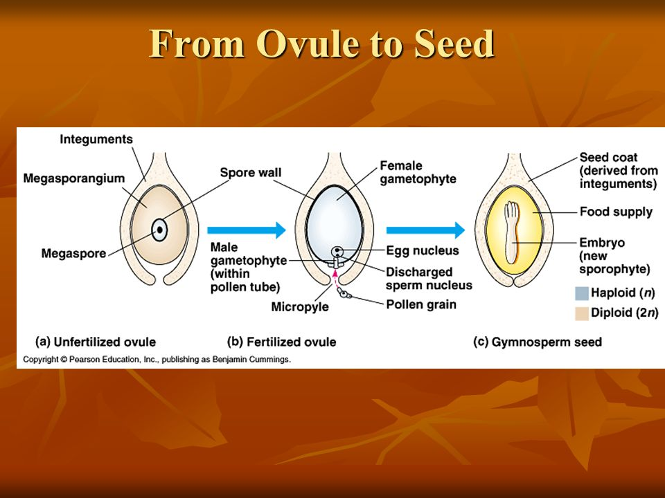 From Ovule to Seed