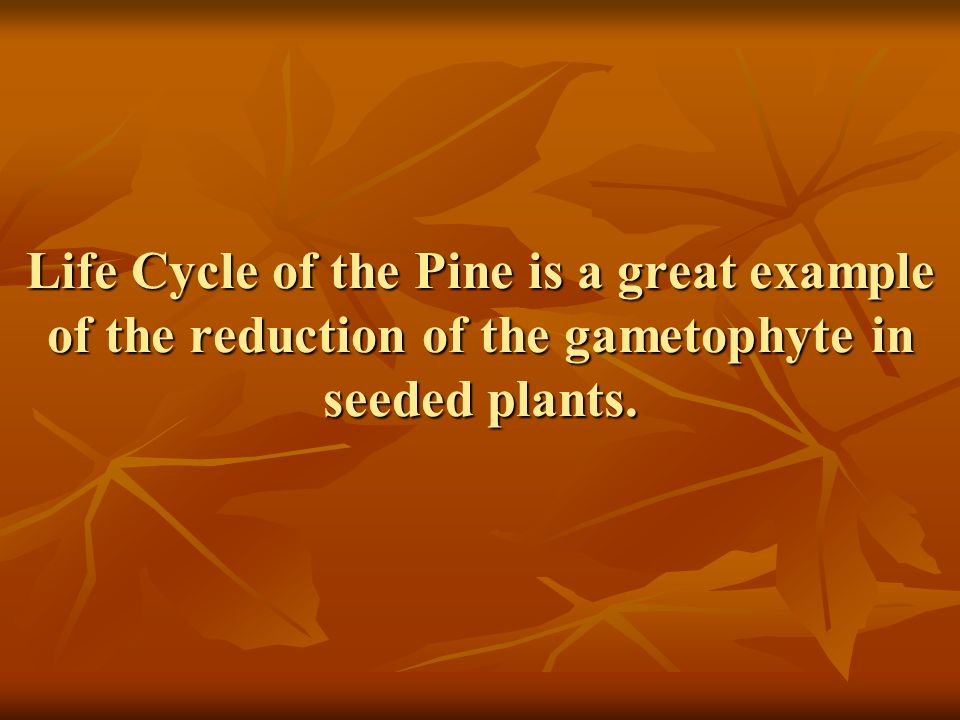Life Cycle of the Pine is a great example of the reduction of the gametophyte in seeded plants.