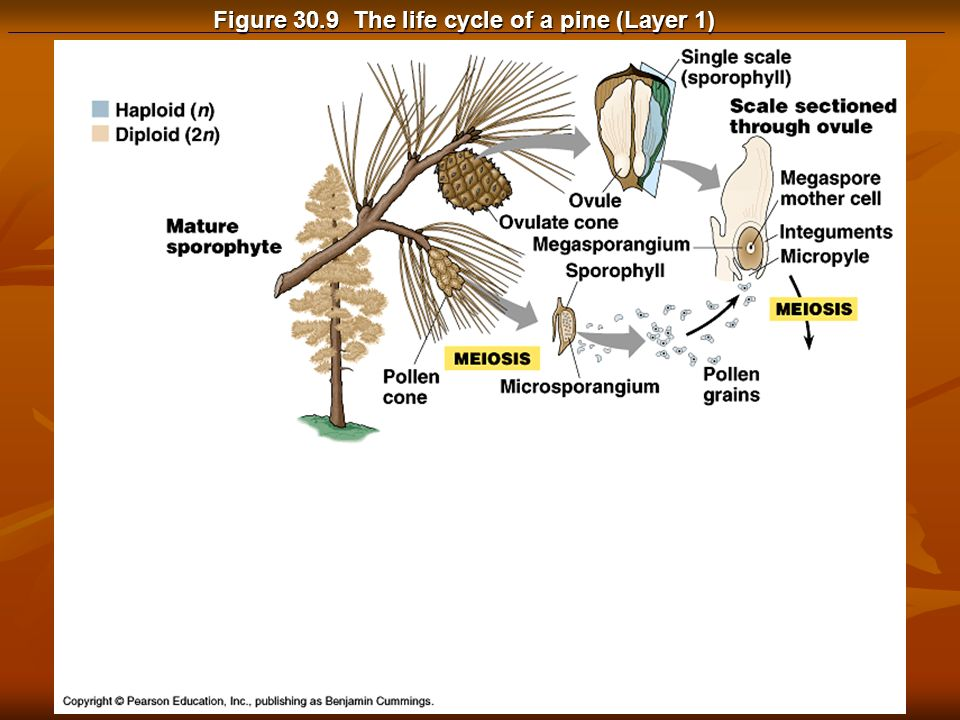 Figure 30.9 The life cycle of a pine (Layer 1)