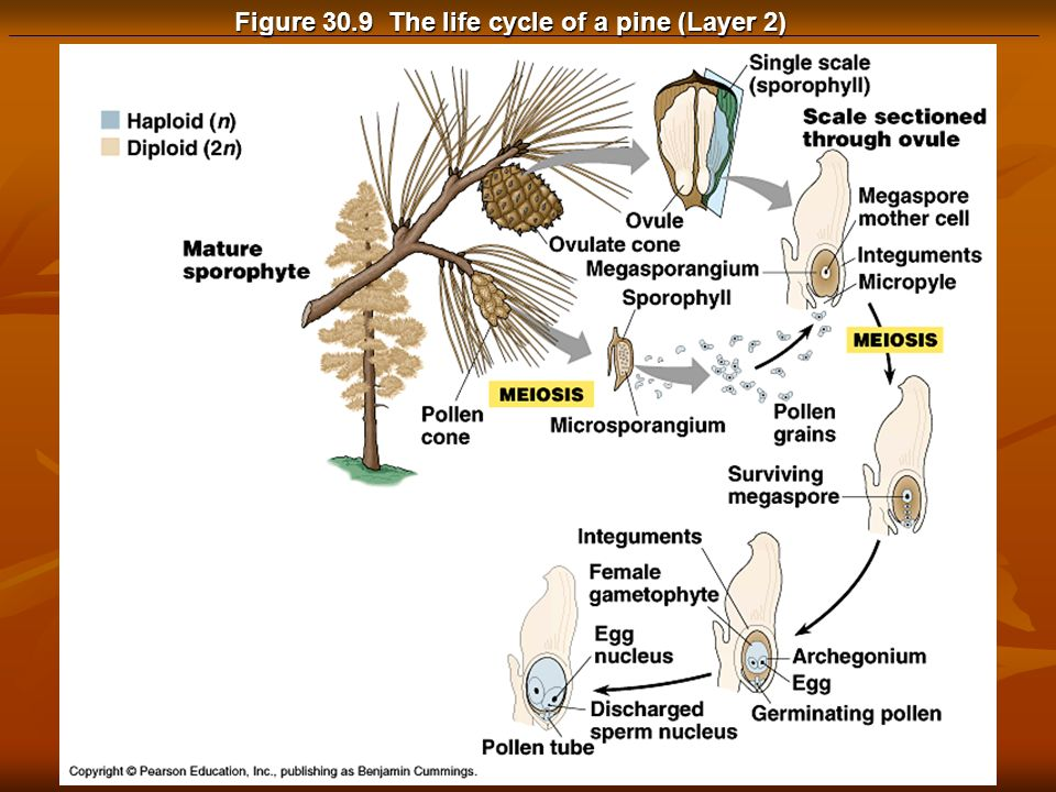 Figure 30.9 The life cycle of a pine (Layer 2)