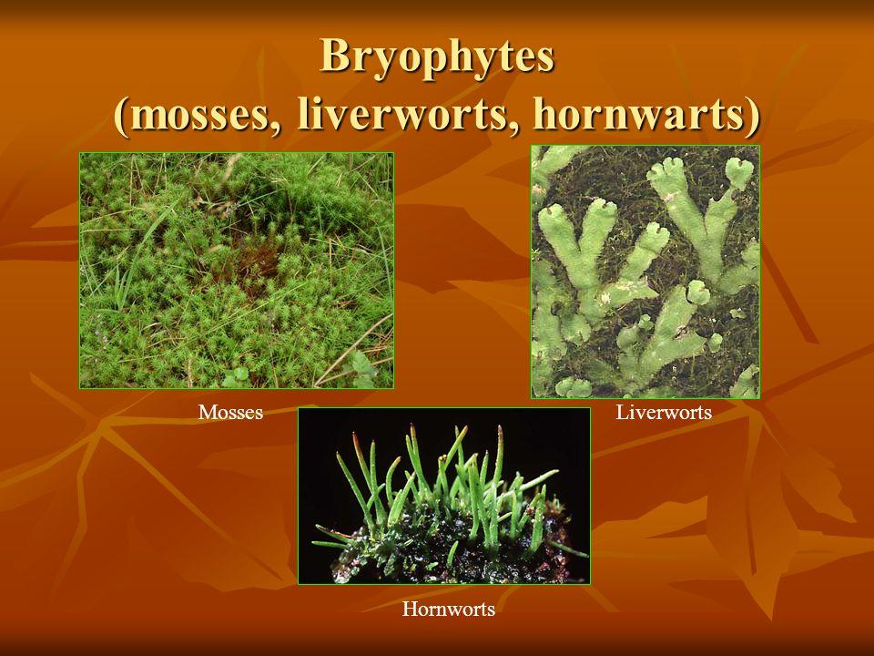 Bryophytes (mosses, liverworts, hornwarts)