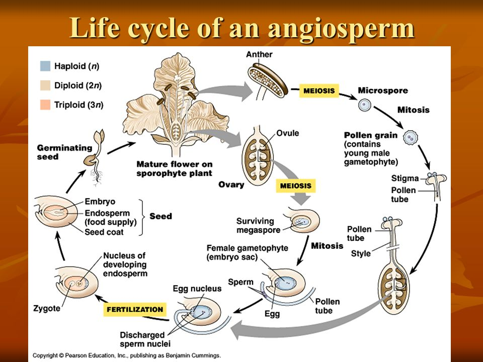 Life cycle of an angiosperm