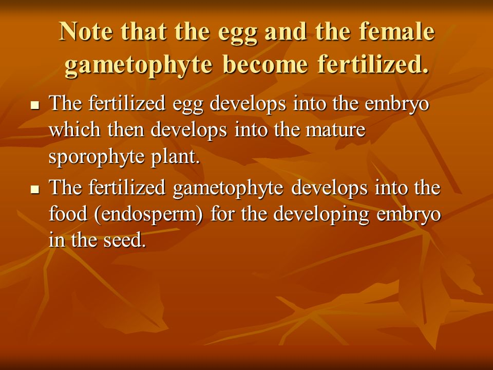 Note that the egg and the female gametophyte become fertilized.