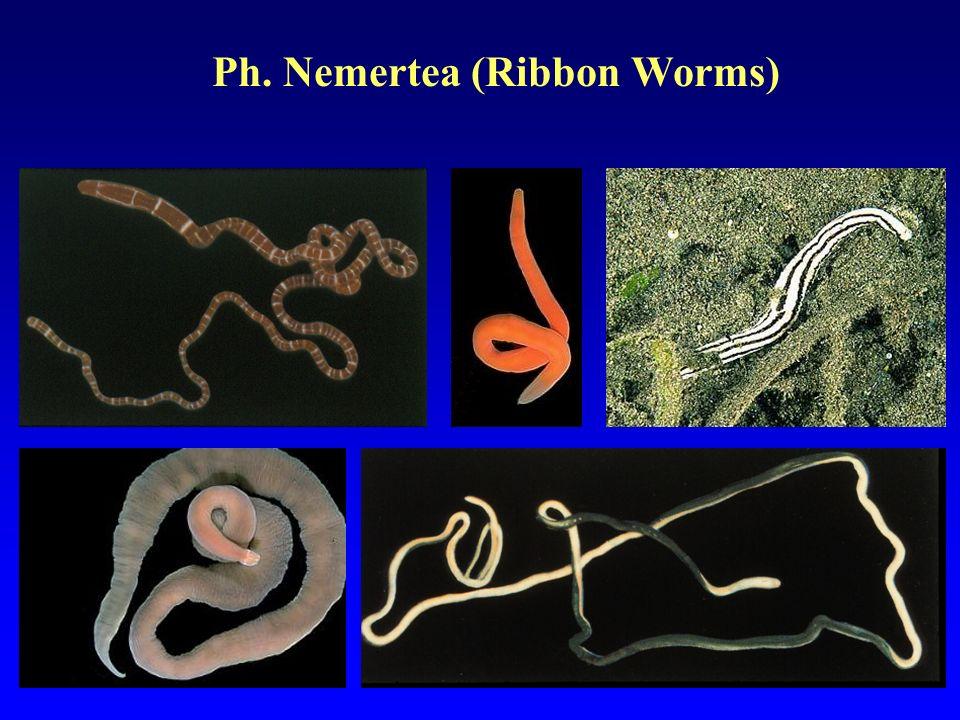 Ph. Nemertea (Ribbon Worms)