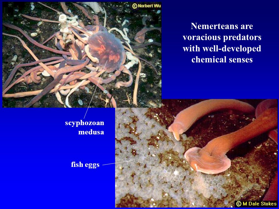 Nemerteans are voracious predators with well-developed chemical senses