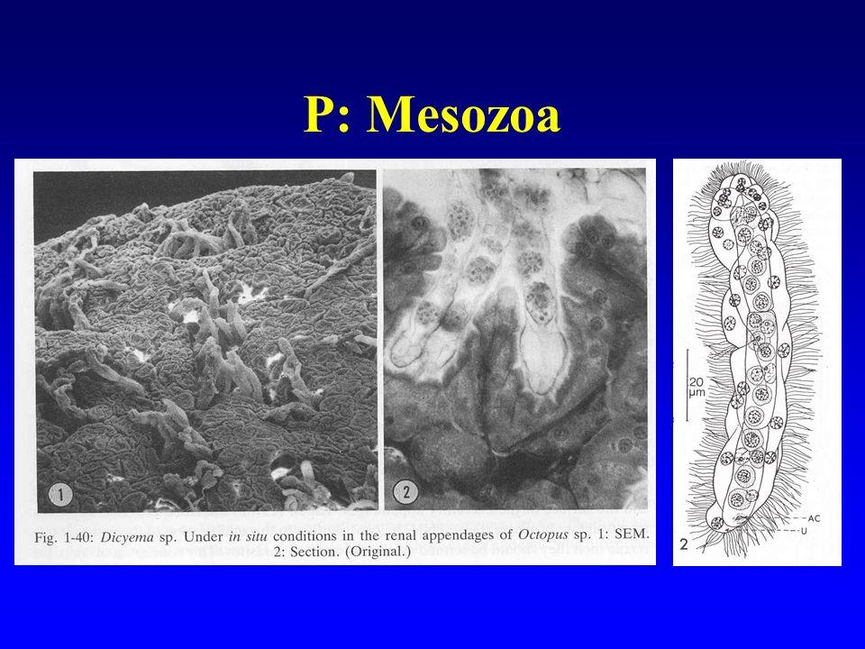 P: Mesozoa