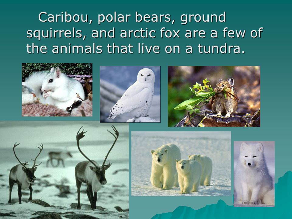 Caribou, polar bears, ground squirrels, and arctic fox are a few of the animals that live on a tundra.