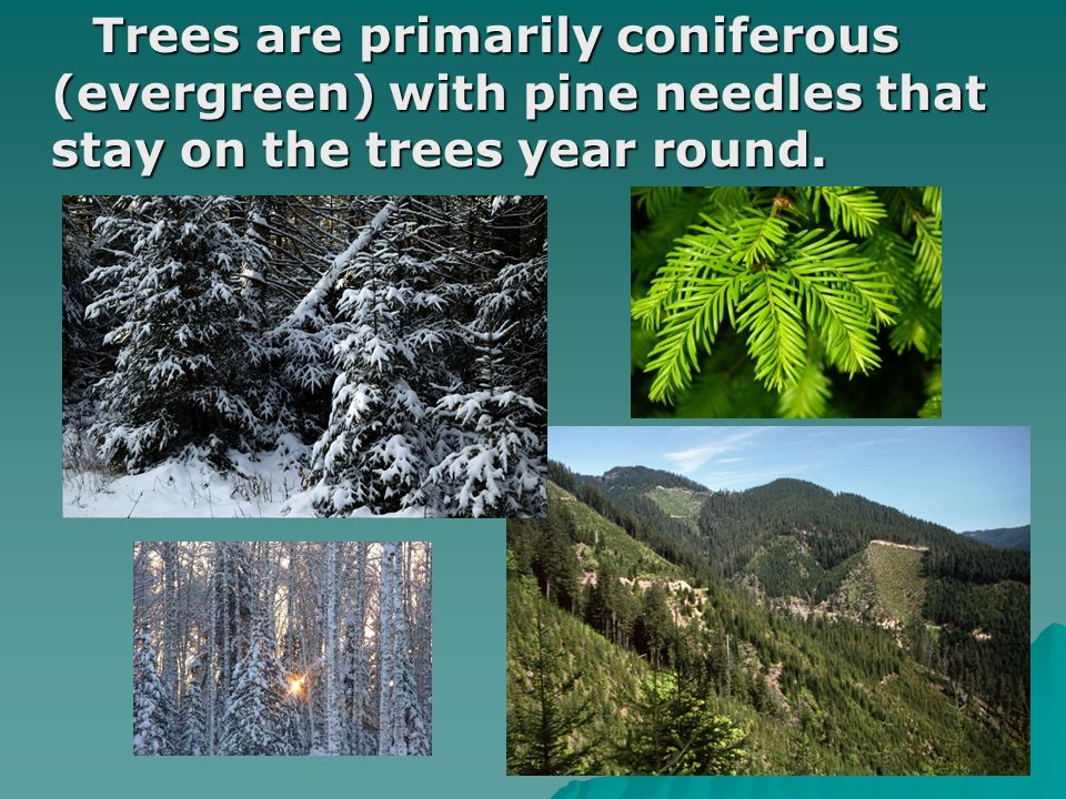 Trees are primarily coniferous (evergreen) with pine needles that stay on the trees year round.