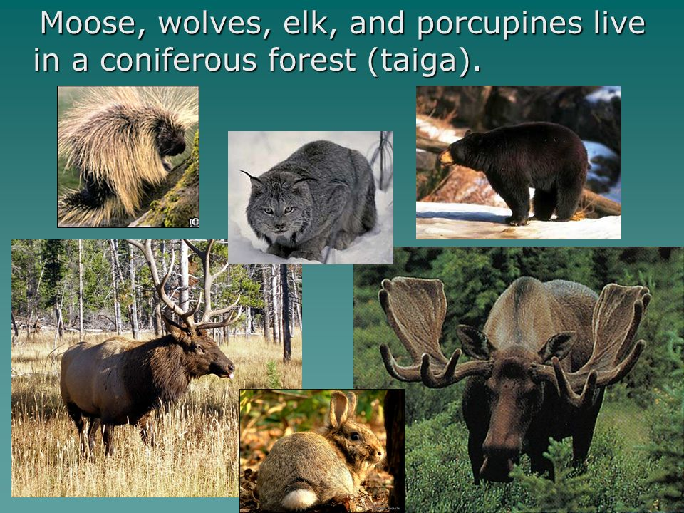 Moose, wolves, elk, and porcupines live in a coniferous forest (taiga).