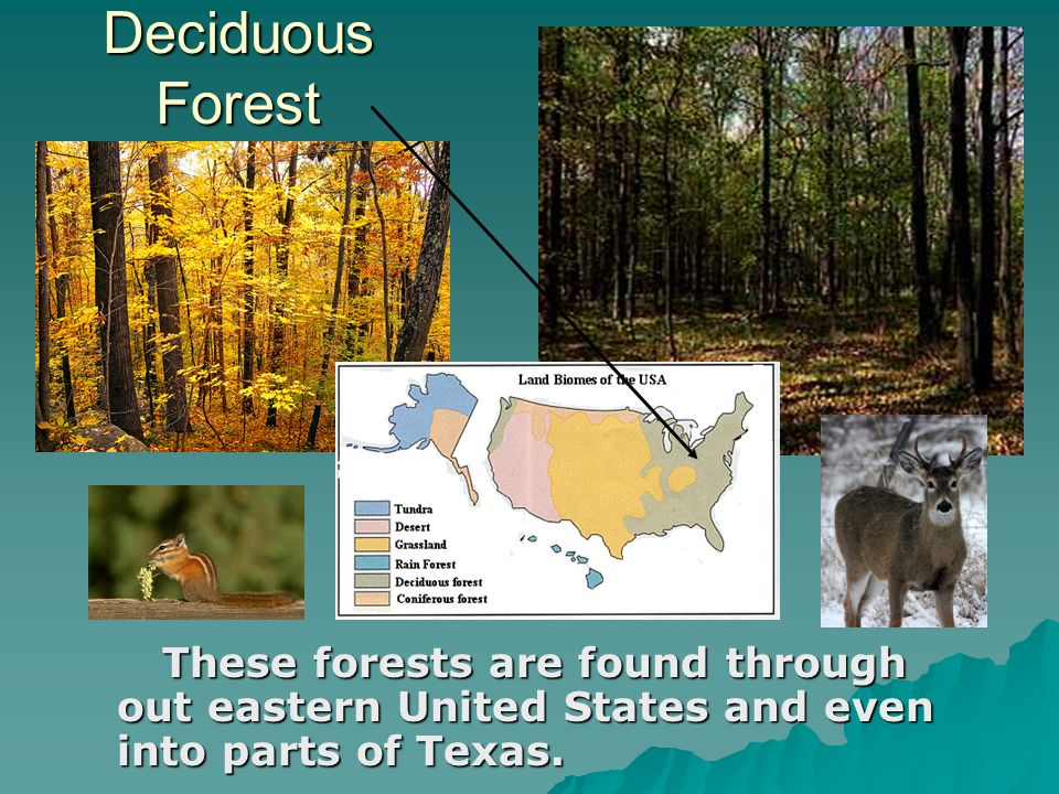 Deciduous Forest These forests are found through out eastern United States and even into parts of Texas.