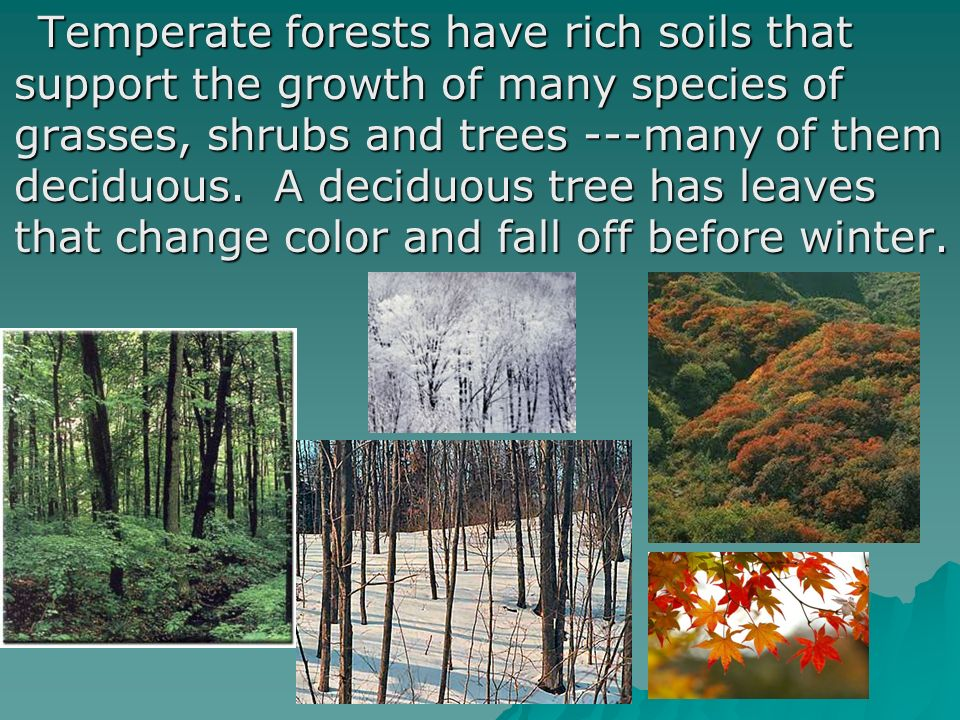 Temperate forests have rich soils that support the growth of many species of grasses, shrubs and trees ---many of them deciduous.