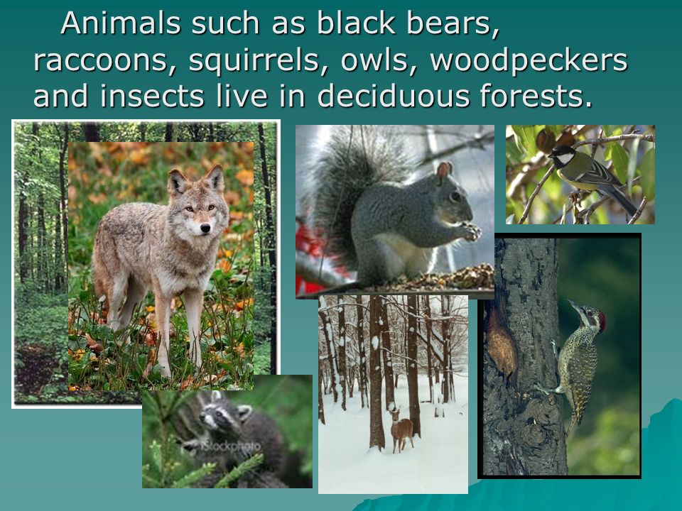 Animals such as black bears, raccoons, squirrels, owls, woodpeckers and insects live in deciduous forests.