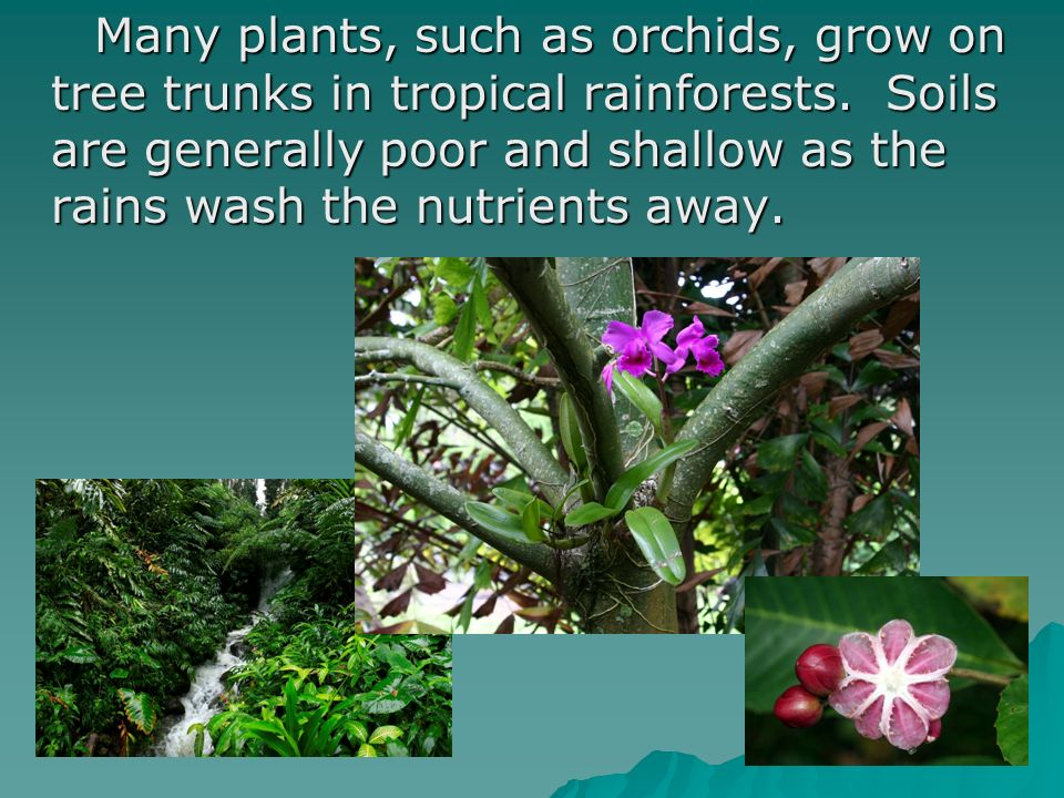 Many plants, such as orchids, grow on tree trunks in tropical rainforests.