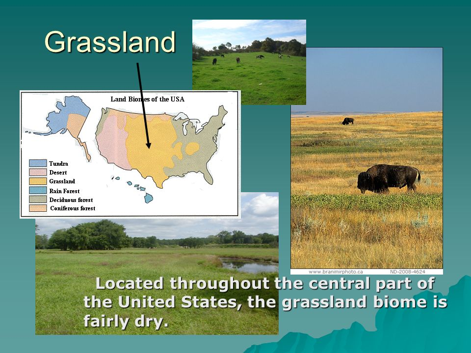 Grassland Located throughout the central part of the United States, the grassland biome is fairly dry.