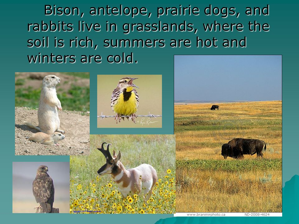 Bison, antelope, prairie dogs, and rabbits live in grasslands, where the soil is rich, summers are hot and winters are cold.