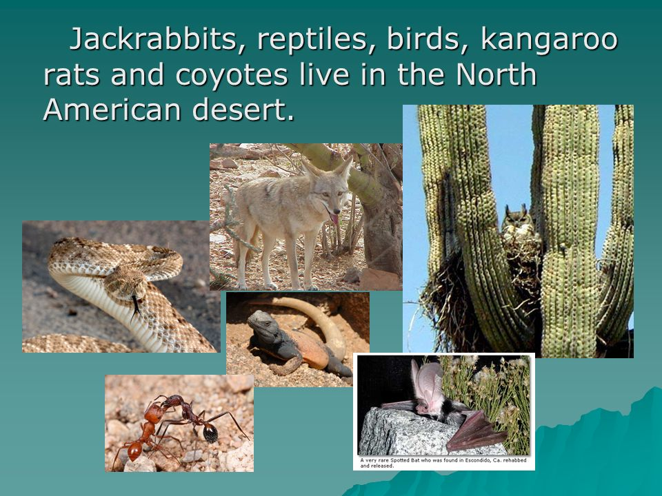 Jackrabbits, reptiles, birds, kangaroo rats and coyotes live in the North American desert.